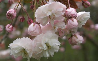 Shirofugen cherry blossom