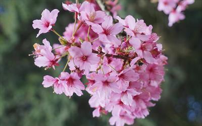 Shosar cherry blossom