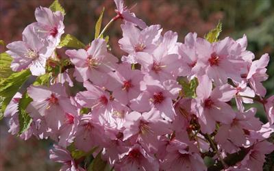 Shosar flowering cherry blossom