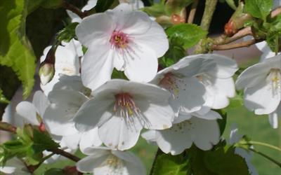 Snow Goose flowering cherry blossom