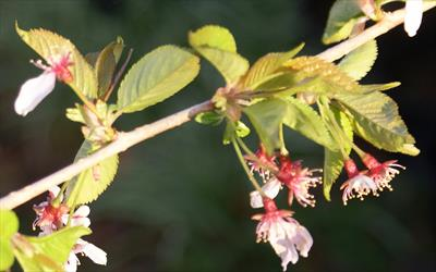 Snow Showers flowering cherry