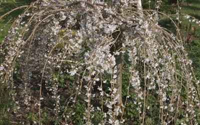 Snow Showers weeping cherry