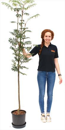Sorbus Asplenifolia
