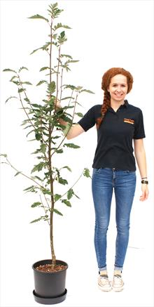 Sorbus hybrida Fastigiata
