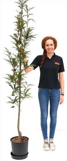 Sorbus Glendoick Spire