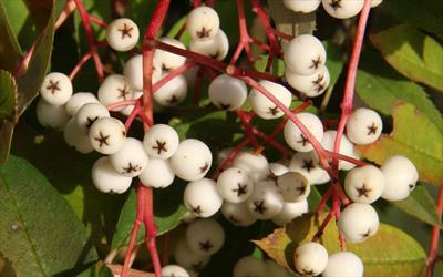 Sorbus helenae berries