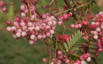 Sorbus pseudovilmorinii