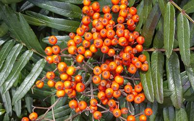 Sorbus scalaris