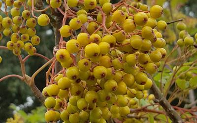 Sorbus Sunshine rowan tree fruits