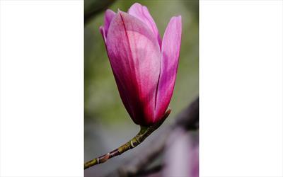 Spectrum magnolia flower