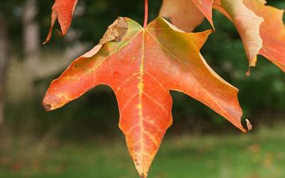 Sugar Maple Maple Trees For Sale From Pippin Trees