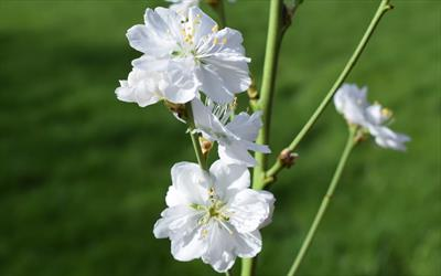 Terute-shiro white flowering peach