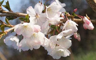 The Bride flowering cherry blossom