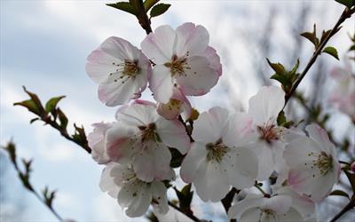 The Bride flowering cherry blossom