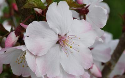 The Bride flowering cherry flower