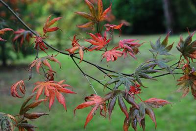 Trompenburg japanese maple leaves