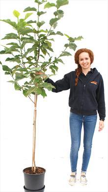 Yellow Bird magnolia tree